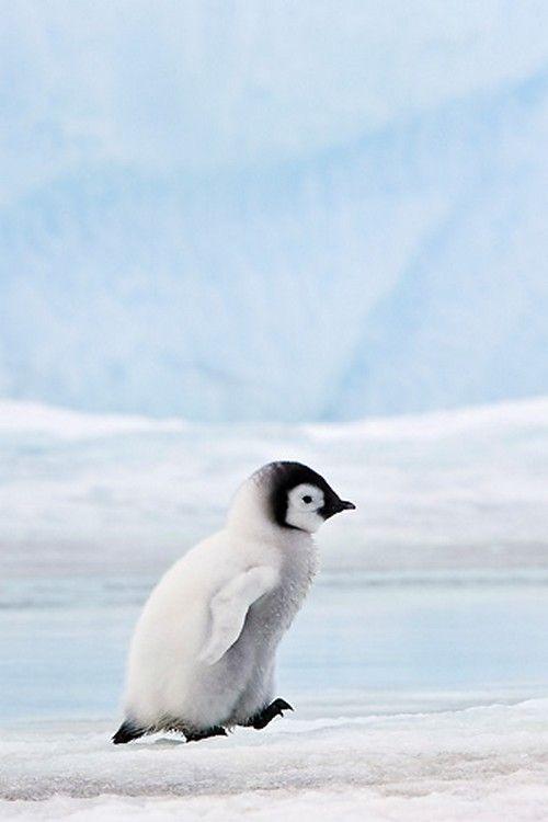 Pinguin-Baby von der Seite.