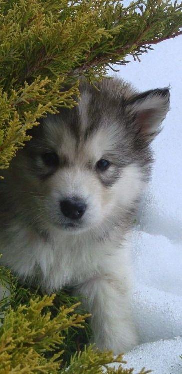 "janetmillslove: ""Alaskan Malamute Dog moment love """