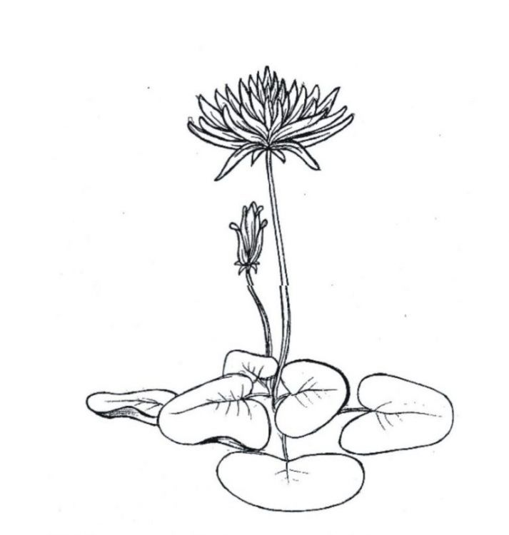 Lukisan Bunga Teratai Hitam Putih Sketsa Bunga Lukisan Bunga Gambar Simpel