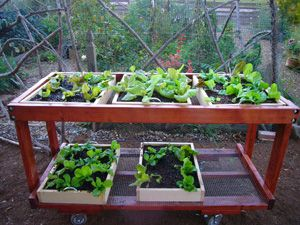 Growing Lettuce in a Salad Table.