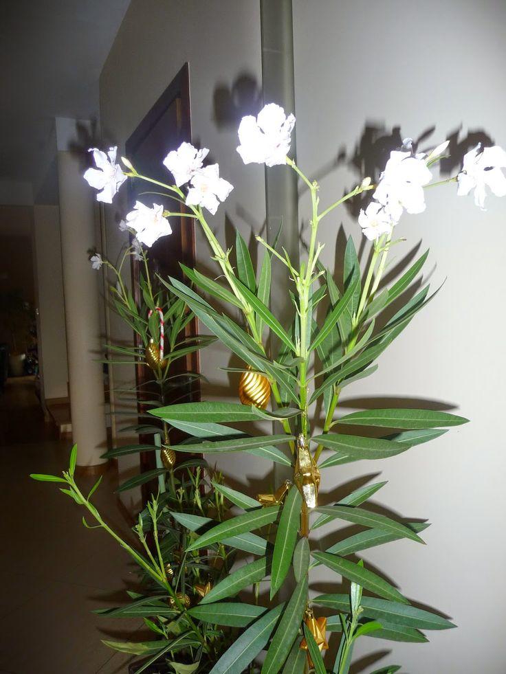 Oleander breeding and wintering
