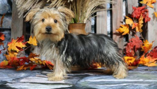 Teac Cup Yorkie Puppies For Sale Mircro Yorkies For Sale Near Me Yorkies Puppies For Sale Near Me Yorkie Puppy For Sale Yorkies For Sale Yorkie Puppy