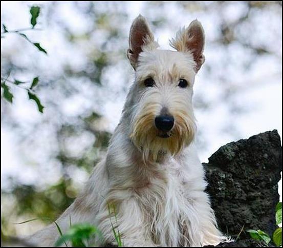 Terrier escocés