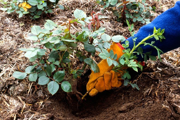 How To Get Rid Of Suckers On Roses Planting Roses Plants Pruning Roses
