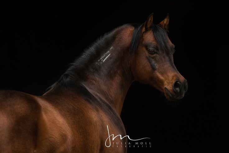 edel Portraits Pferd schwarz Hintergrund Persönlichkeit Gesicht Model Halle Stallgasse Studio Porträt Ausdruck fotografieren Galerie Standbild Blitz