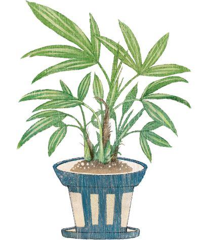 江戸時代以前より福を呼ぶと言われ愛好されている、とても縁起の良い観葉植物です。なんと200年以上も前から、園芸愛好家によってとてもたくさんの品種が生み出され、 過去には一株数百万円で取引されるような超貴重品種もありました。相撲の世界に番付表があるように、実はこの観音竹という 古典園芸植物にも番付表(名鑑)が存在しており、その希少性や品種が醸し出す風格、人気度を示す指標のひとつになっていました。当時よりマニアを夢中にさせてきた、なんとも奥深い世界をもつ植物です。<中川政七商店>