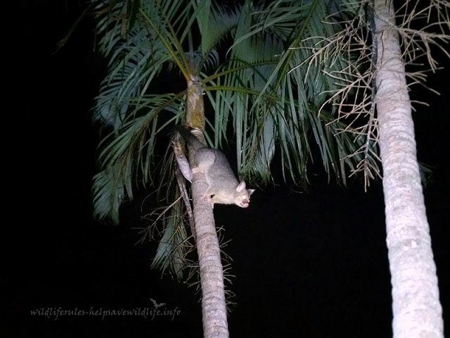 Backyard | Possum Brushtail male   http://www.wildliferules-helpsavewildlife.info/2017/04/backyard-possum-brushtail-male.html