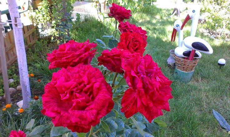 Вот такие у нас розы!)))