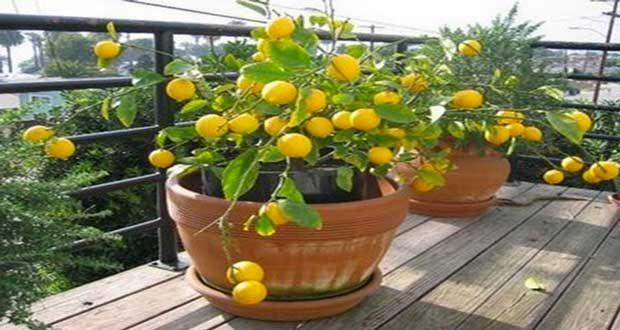 Envie d'un citronnier chez vous? Lancez-vous dansla plantation d'un citronnier en pot sans passer par la jardinerie ! Mais alors comment avoir un citronnier chez soi si on ne l'achète pas ? L'astucese logedans le pépin du citron ! On vous dit tout sur ce citronnier prometteur...Rédigé le 20/