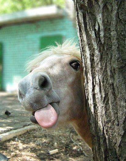 Peek-a-Boo! So Funny ..Some horses just love to stick their tongues out ! ... Wa- hooo !