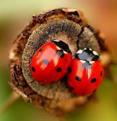 Couple of red #ladybug on a tree branch. Beautiful!