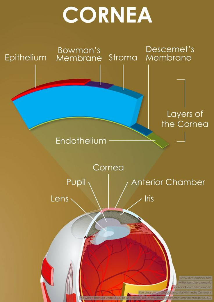 Layers of the cornea - You can actually devide the cornea into 5 layers, these include:  1. Epithelium Layer: This is the surface layer of cells. They provide barrier function and a smooth surface for the tear film. 2. Bowmans Layer: A tough layer of basement membrane right under the epithelium. This layer is tough, and keeps the cornea from swelling forward … which means