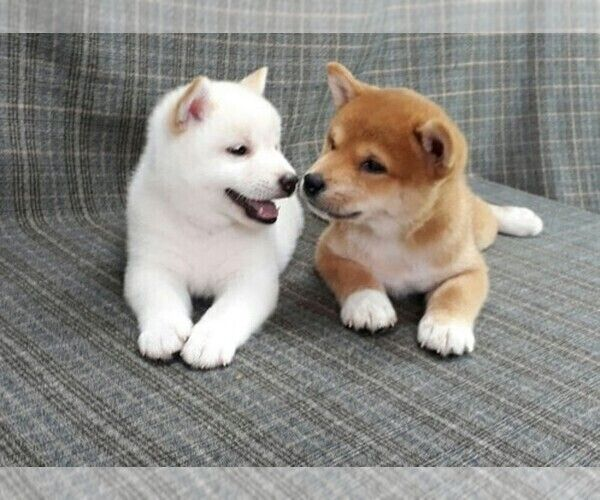 Breeder Profile Details Subs 37178 Perfect Puppy Shiba Inu Puppy Dog Breeder Japanese Dogs