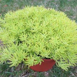 Sedum très lumineux à l'étonnant feuillage jaune citron formant une boule compacte. Petites fleurs estivales jaunes. Très bonne rusticité : -15°C. Pep 'A l'ombre des Figuiers' vers Quimper (Bretagne)