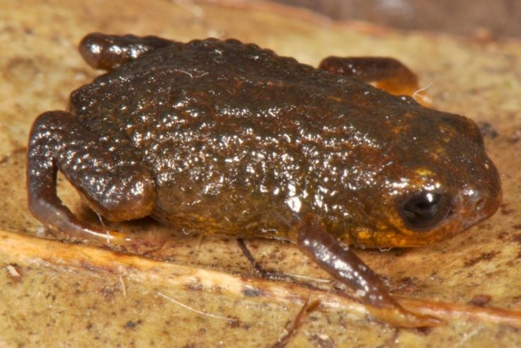 These Newly Discovered Itty-Bitty Frogs Are Smaller Than A Centimeter