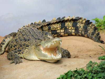 Saltwater Crocodile | Saltwater Crocodile Picture - Picture of a Saltwater Crocodile, Page 3
