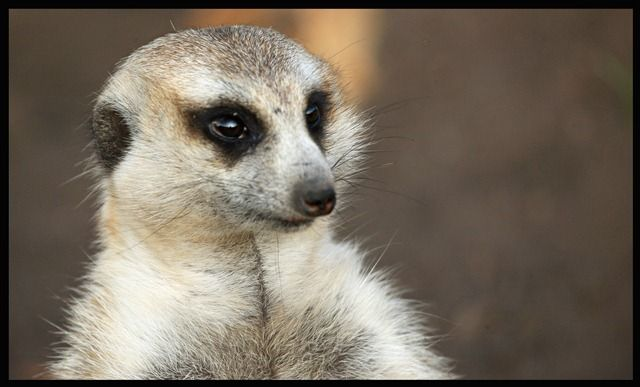 "he name ""meerkat"" comes from the dutch language, ""meer"" meaning lake or expanse of water, because suricates are often found around water."