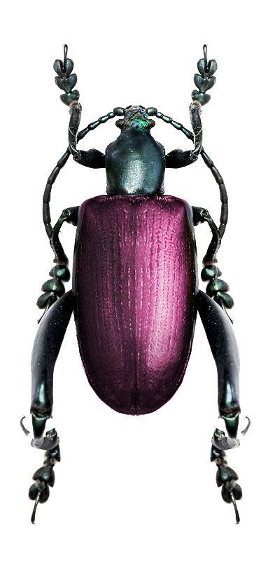 Sagra bicolor