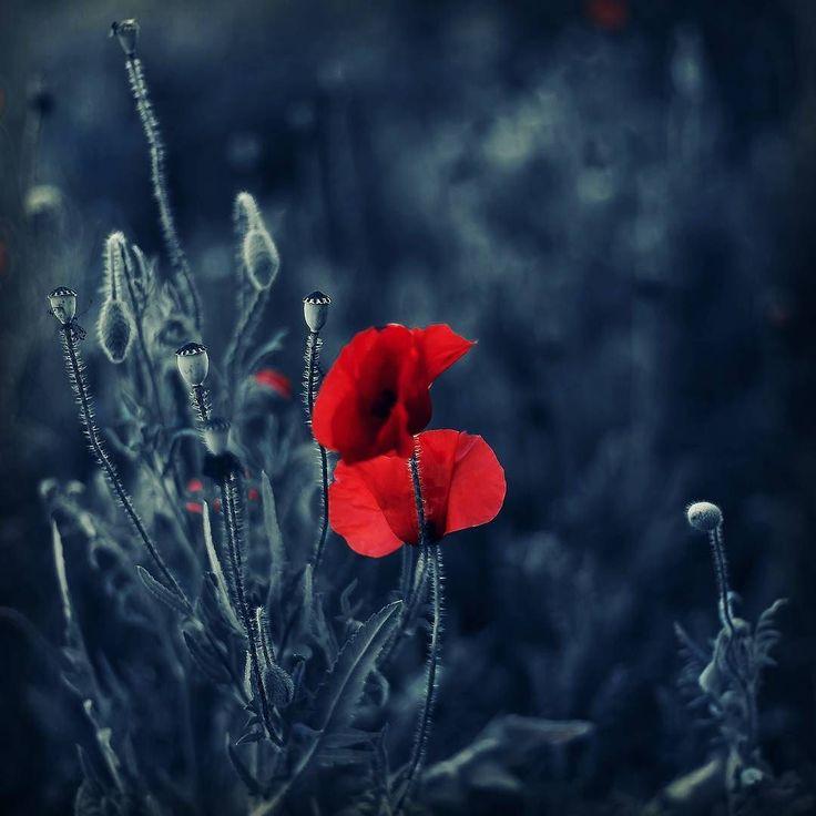 #flowers #flower #nature #naturelovers #canon #garden #grasses #blue #red #floral #flora #colors #macro #macroworld #macroshot #spring #springbreak #poppy #poppies