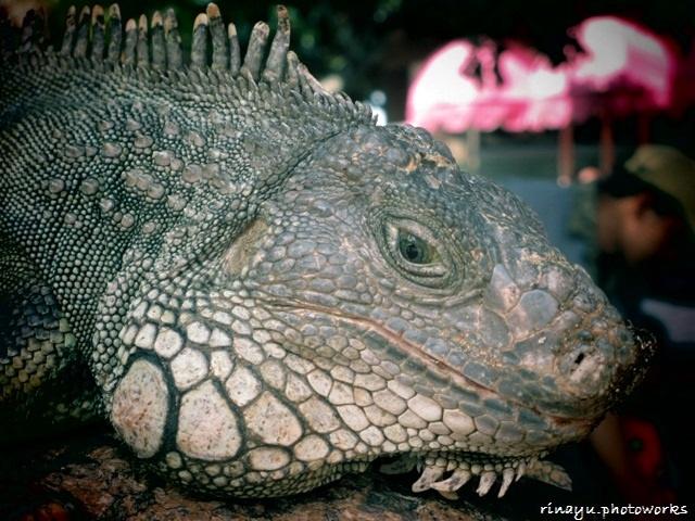 iguana #BatuSecretZoo #Malang #Indonesia
