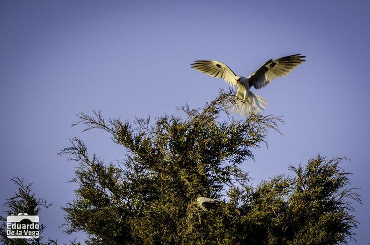 Gavilanes en el patio / White-tailed Kite on the backyard by Eduardo De la Vega on 500px