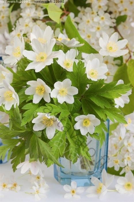 Kuva: Valkovuokkokimppu lasivaasissa - valkovuokko valkovuokot valkoinen kukka kukat kevätkukka kevätkukat - Kuvatoimisto - Photostock Vastavalo.fi