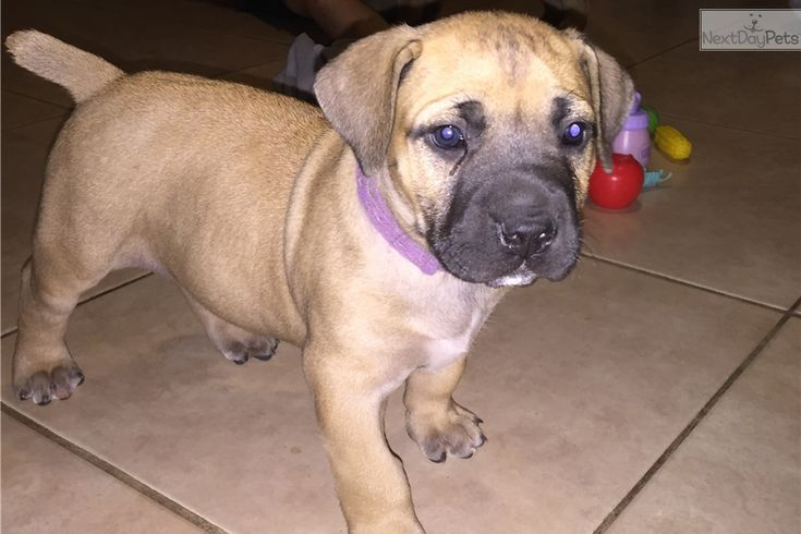 You'll love this Female South African Boerboel puppy looking for a new home.