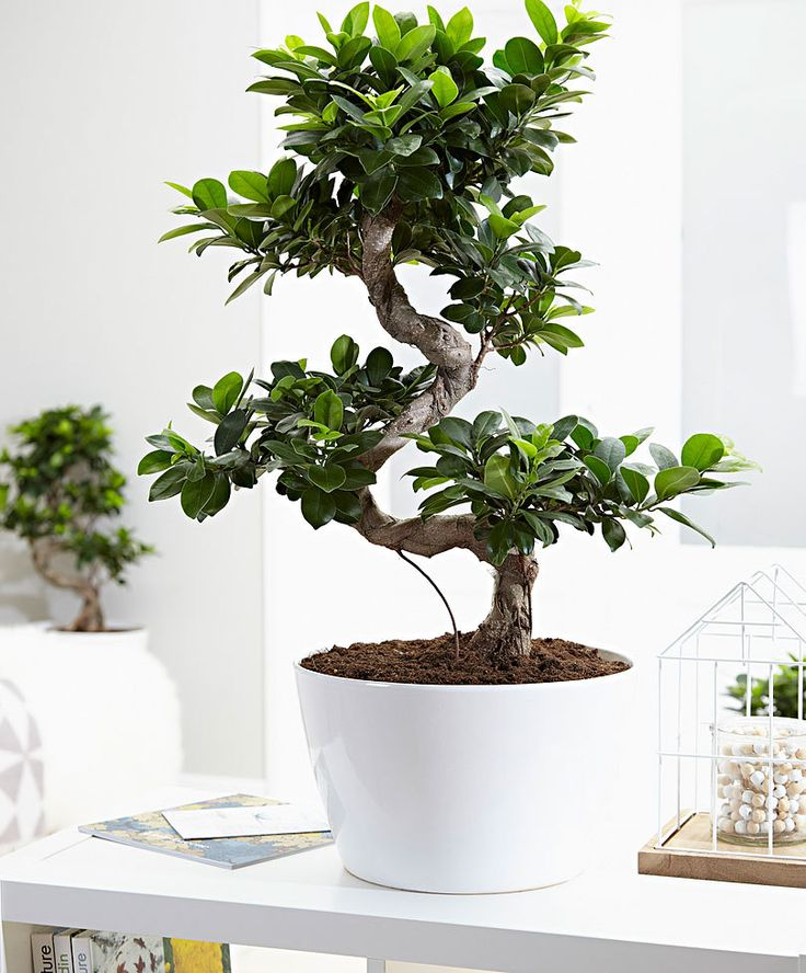 Les 25 meilleures id es de la cat gorie bonsa ficus for Entretien bonsai interieur