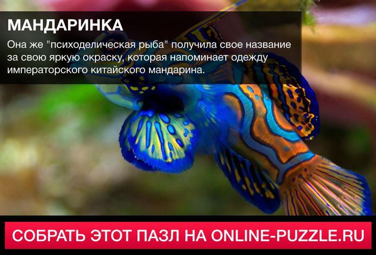 ☝  Она же «психоделическая рыба» получила свое название за свою яркую окраску, которая напоминает одежду императорского китайского мандарина.