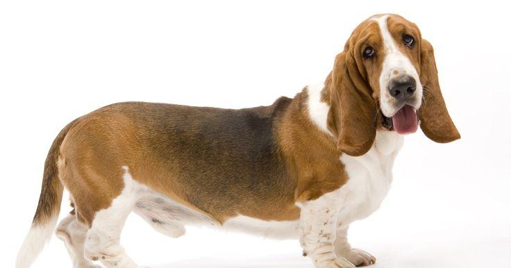 Cómo limpiar los oídos de un perro con vinagre y agua. Es común que las orejas de un perro tengan mal olor, especialmente si las tienen caídas. Cuando las orejas de un perro cuelgan, es muy probable que la humedad permanezca dentro del oído, lo que ocasiona la formación de bacterias y cera. Si ves que el perro se rasca las orejas, podría tener una infección en los oídos. La limpieza periódica puede ...