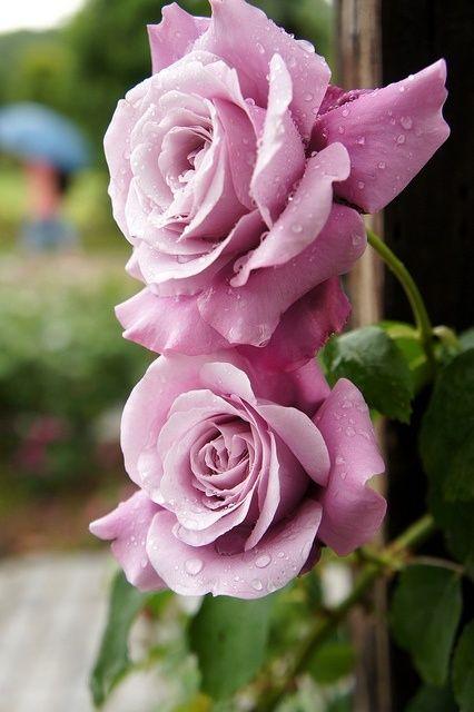 """Cette rose est le sosie d'un de mes rosiers: """"Violetta"""", un grimpant remontant, divinement parfumé <3  -  This rose is the double of one of my rose trees: """"Violetta"""",  climbing, repeat flowering, divinement scented <3"""