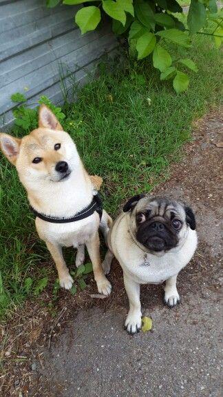 Shiba and pug
