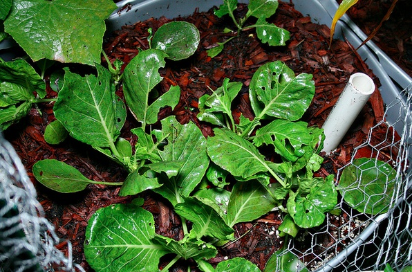 how to get rid of cabbage worms naturally
