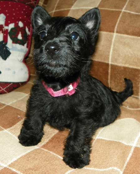 MacTavish Scottish terriers,scottish terriers puppies for sale, wheaten scotties,scottish terrier puppies for sale, Scottish Terrier Breeders, Scottish Terrier puppies for sale, breeder,puppy cam, web cam