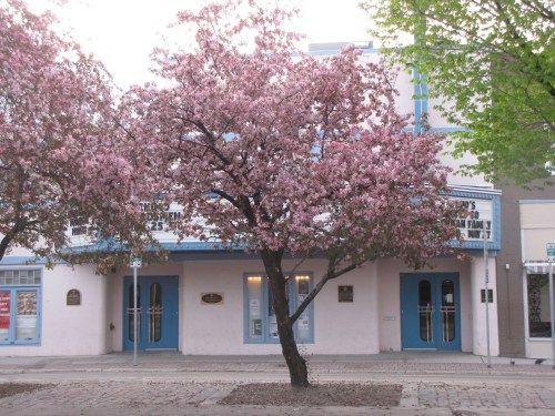 blooming cherry tree broadway avenue saskatoon