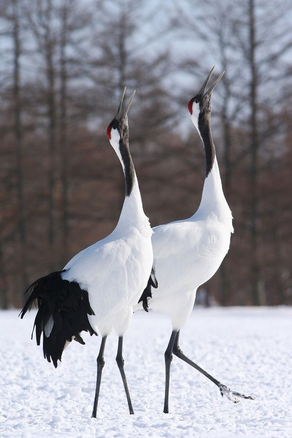 The wingspan of the Japanese crane measures up to 2.5 meters!