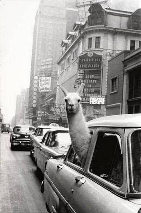 Oh you know, just a llama in a taxi.