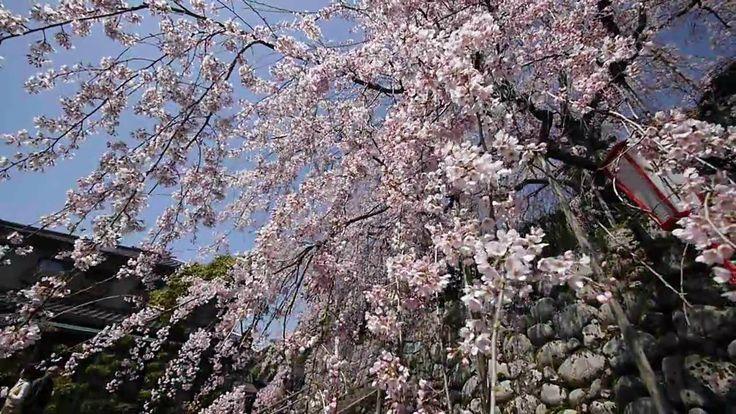 瑠璃寺のしだれ桜(舞鶴市吉田)