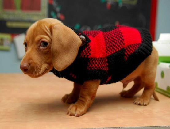 A Saturday morning cutie in a sweater : ) - From Crusoe the Celebrity Dachshund's Facebook