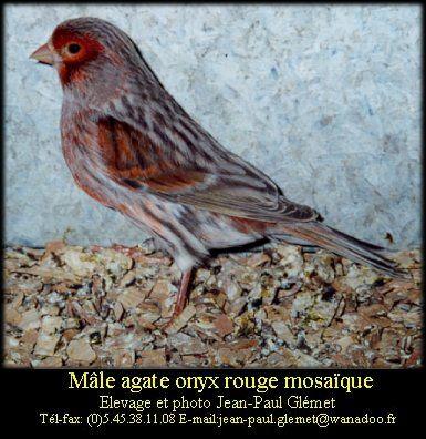 Dernière mutation apparue chez le canari couleur elle se traduit par une modification de la disposition de la mélanine à l'intérieur de la plume. Le pigment sombre s'étend vers l'interstrie ce qui donne un voile sur l'oiseau.