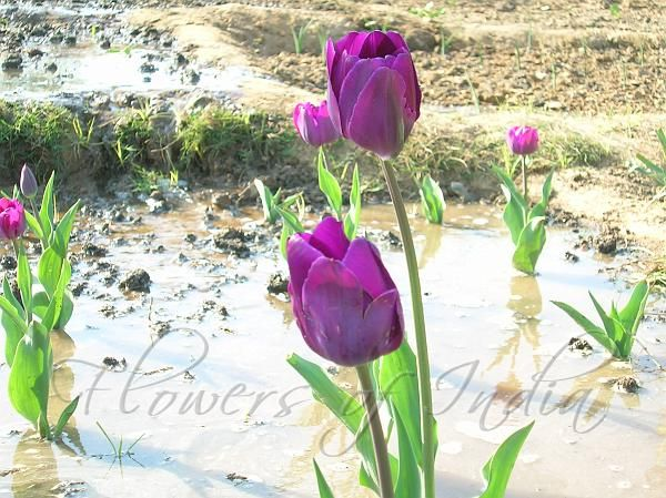 Perfect Tulip Flower Translation Hindi And Pics In 2020 Tulips Flowers Tulips Flowers