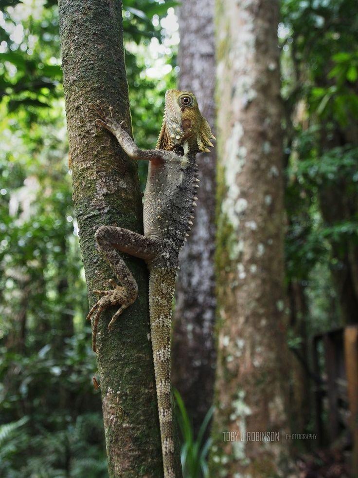 Boyd's Forest Dragon, Mossman Gorge. Australia Daintree, rain forest, lizard, North Queensland