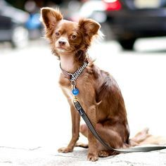 Bones, Russian Toy Terrier, Franklin & Greenwich St, New...//the dogist