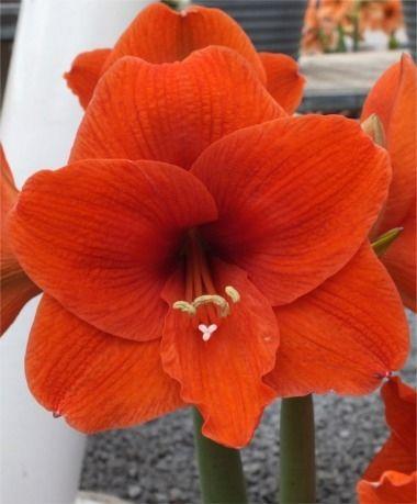 Amaryllis Naranja - Royal Dutch Single Amaryllis - Amaryllis - Flower Bulb Index