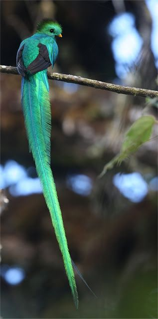 Quetzals are strikingly colored birds in the trogon family. They are found in forests and woodlands, especially in humid highlands