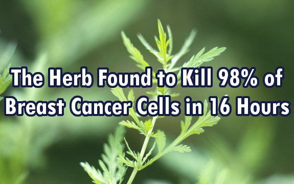 This therapy does not only affect the improvement of immunological picture of the patient's organisms, this plant is aggressively fighting cancer!