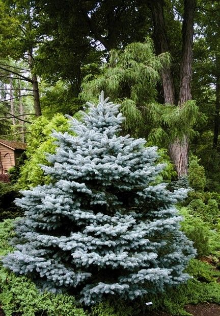 Montgomery Blue Spruce -- 3-4ft. tall -- Outstanding addition to the landscape! Very slow growing dwarf forming a dense, symmetrical cone shape. Attractive, pointed gray-blue needles. Holds its color in Southern climates. Evergreen.