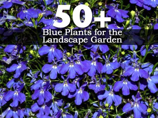 50  Blue Plants for the Landscape Garden