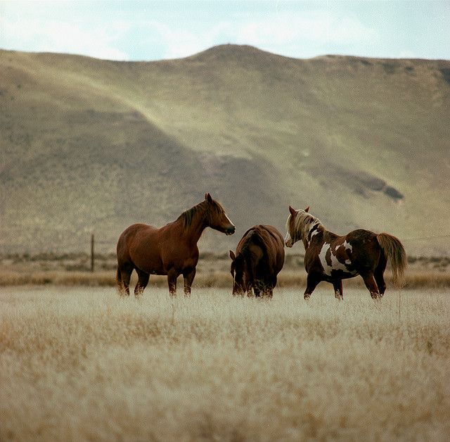 "Wild horses have roamed the grasslands of eastern Washington State for decades. In the late 1970s, a herd roamed the grasslands of the Hanford Site. These horses became quite used to having people around, the horse on the right was nicknamed ""Lady"" by the Hanford Patrol. 