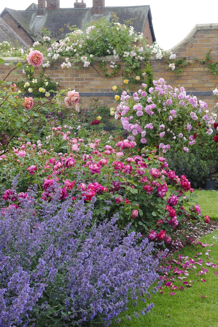 Garden style the english cottage garden where the old - Lady Of Megginch Ausvolume Nepeta Kit Kat Davidaustin Gardenroses Find This Pin And More On English Cottage Gardens